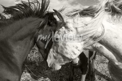 Fototapeta Dva koně pozdrav navzájem
