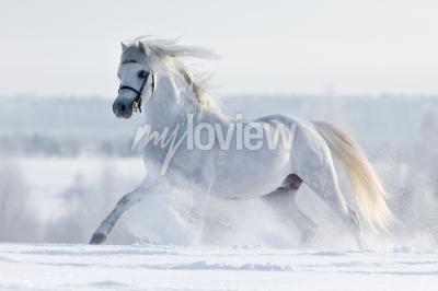 Fototapeta Bialy kon galopuje w w polu zimie