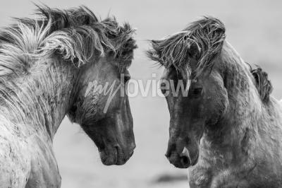Fototapeta Dva koně hravě bojují společně