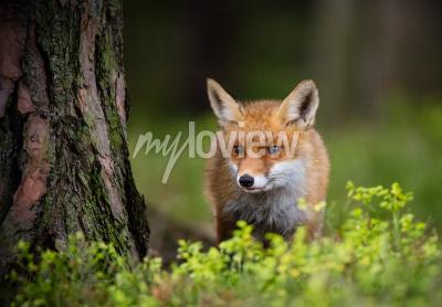Fototapeta Fox lov v evropském lese