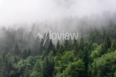 Fototapeta Evergreen Forest Přehled