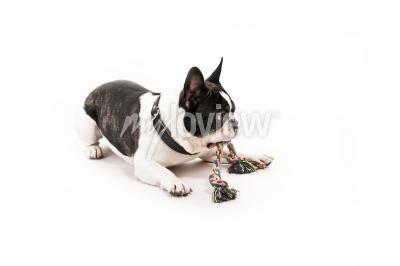 Fototapeta Pes s hračkou na bílém pozadí