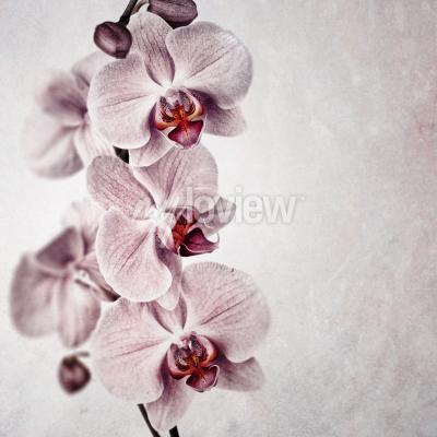 Fototapeta Křehká růžová orchidej na vybledlém pozadí vintage stylu