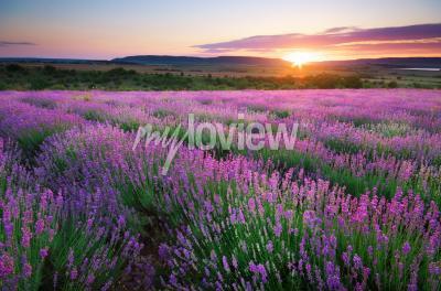 Fototapeta Meadow of lavender