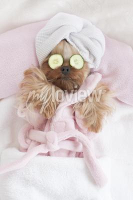 Plakát Yorkshire Terrier Relaxing at the Dog Grooming Spa